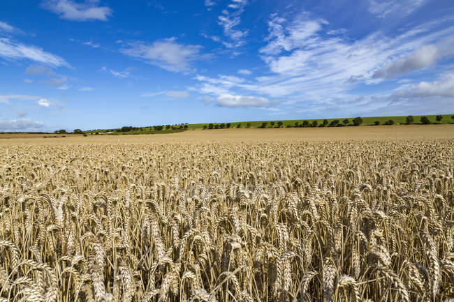 Ripening wheat field and blue sky in Northumberland, England, United Kingdom — Stock Photo