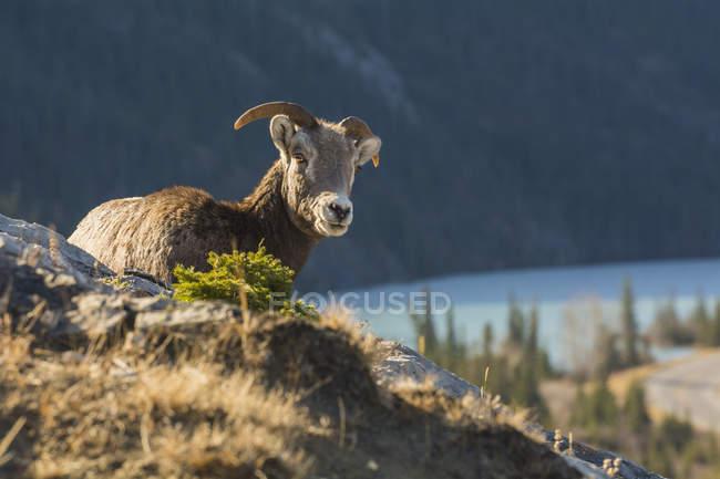 Скелясті гори Товсторіг, відпочиваючи на скелі, Національний парк Джаспер, Альберта, Канада, Північна Америка — стокове фото