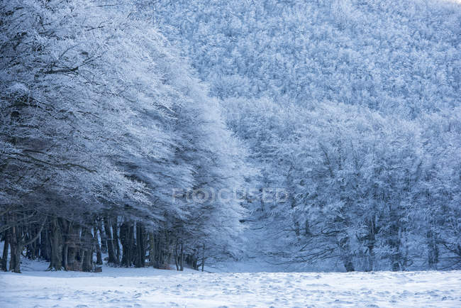 Snow covered trees in forest in winter — стоковое фото