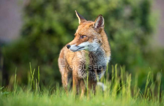 Міських Фокс що крадеться на траві і дивиться вбік — стокове фото