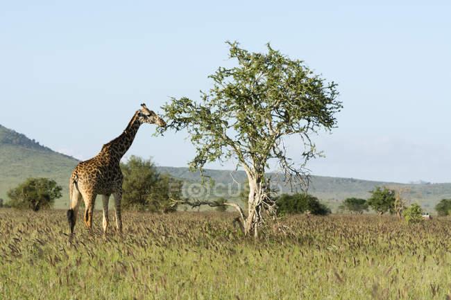 Masai giraffe standing at tree in savanna, Tsavo, Kenya, East Africa, Africa — Stock Photo