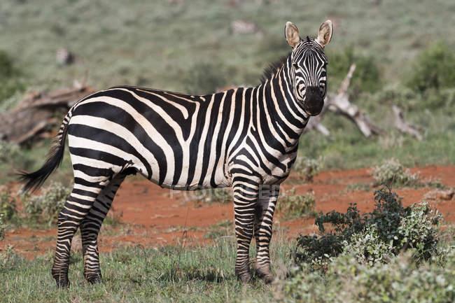 Pie de llanuras cebra en la sabana y mirando a cámara, Tsavo, Kenia, en África Oriental, África - foto de stock