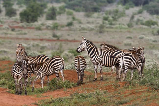 Manada de cebras de la llanura en naturaleza, Tsavo, Kenia, en África Oriental, África - foto de stock