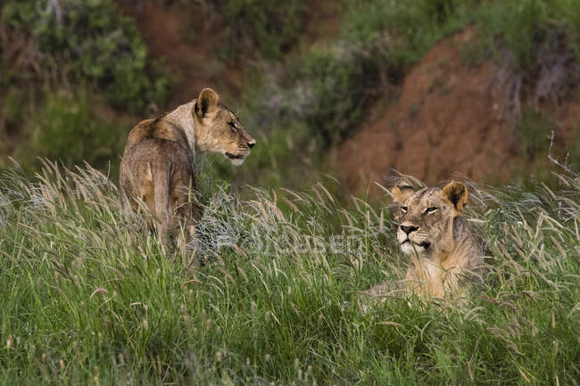 Lions in grass in nature, Tsavo, Kenya, East Africa, Africa — Stock Photo