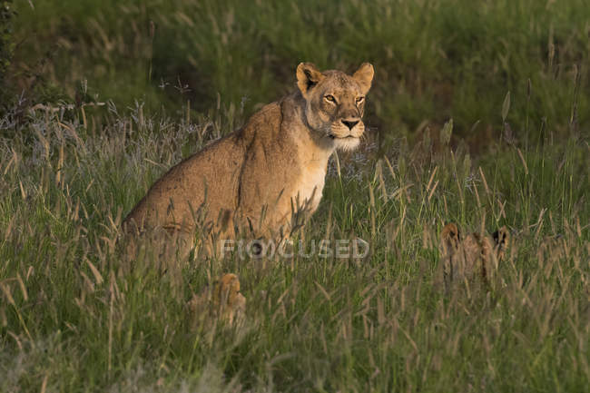 Lioness sitting in tall grass with cubs, Tsavo, Kenya, East Africa, Africa — Stock Photo