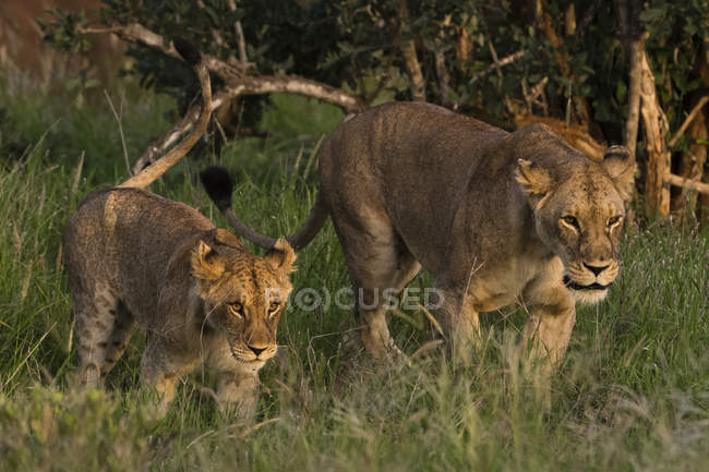 Lioness and cub walking in savanna, Tsavo, Kenya, East Africa, Africa — Foto stock