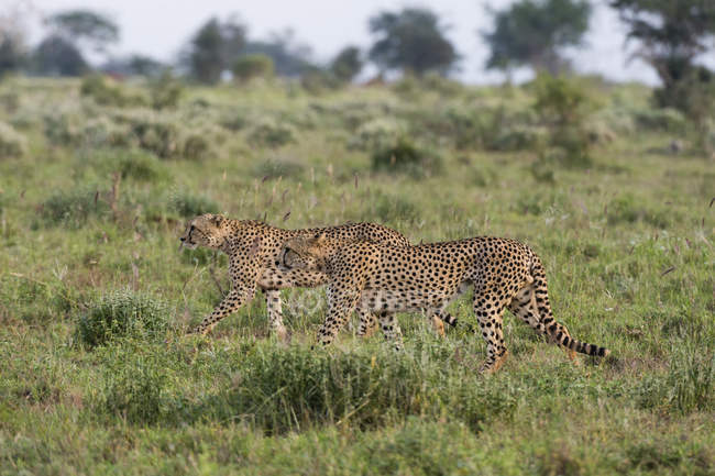 Due ghepardi a piedi nella savana, Tsavo, Kenya, Africa orientale, Africa — Foto stock