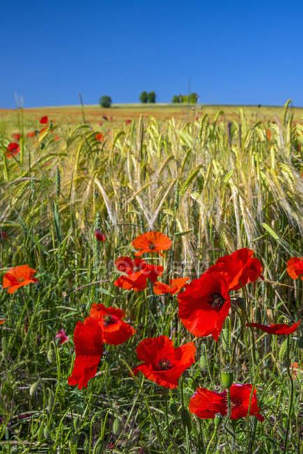 Flor de amapolas en el campo de amapolas con cielo azul de fondo - foto de stock