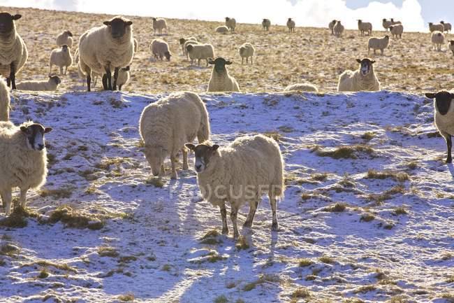 Commandes de moutons sur la neige couvert colline — Photo de stock