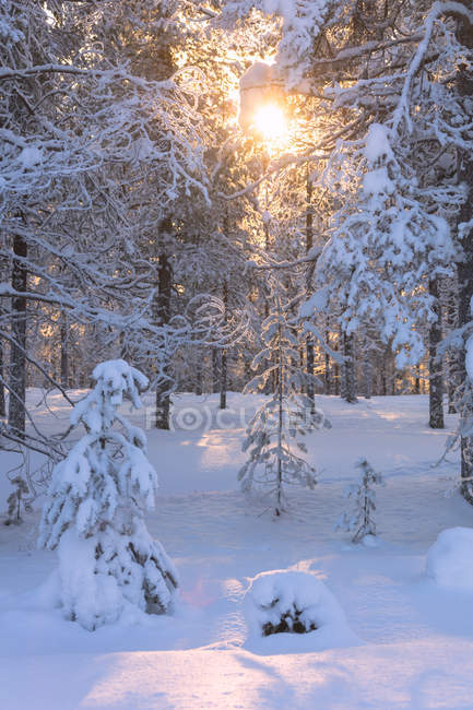 Sun rays on snow covered trees in forest — стоковое фото