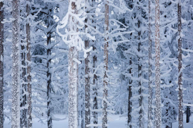 Frozen tree trunks in snow capped forest — Stock Photo