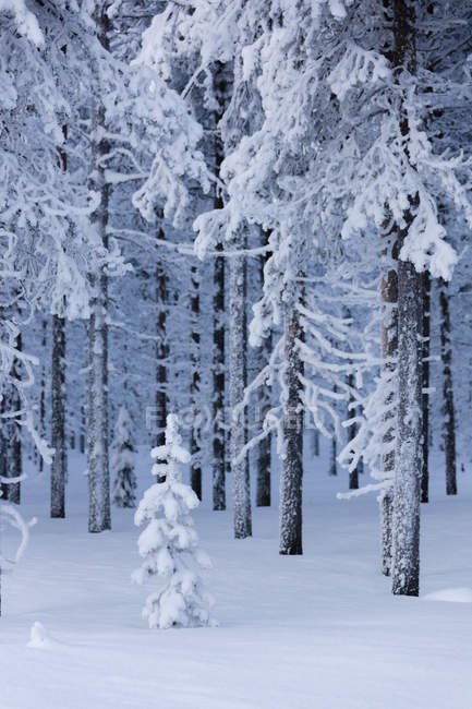 Frozen trees in snow capped forest — стоковое фото