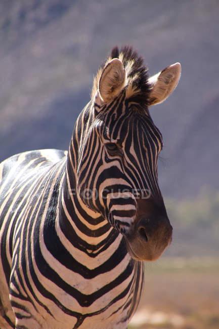 Рівнини Зебра фотографіях хтось дивитися вбік, Aquila Safari Reserve Ігри, Кейптаун, Південна Африка, Африка — стокове фото