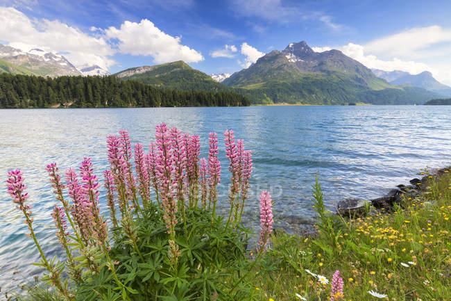 Bloom of Lupinus on shore of Lej da Sils lake with mountains on background, Engadine Valley, Graubunden, Switzerland — Stock Photo