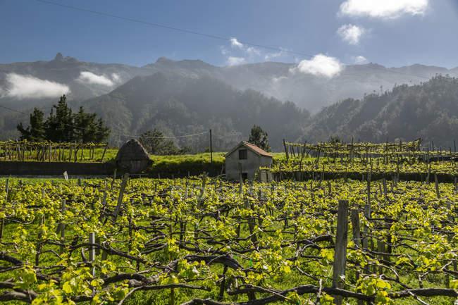 Vinhedo e paisagens entre São Vicente e Funchal com montanhas em fundo, Madeira, Portugal — Fotografia de Stock
