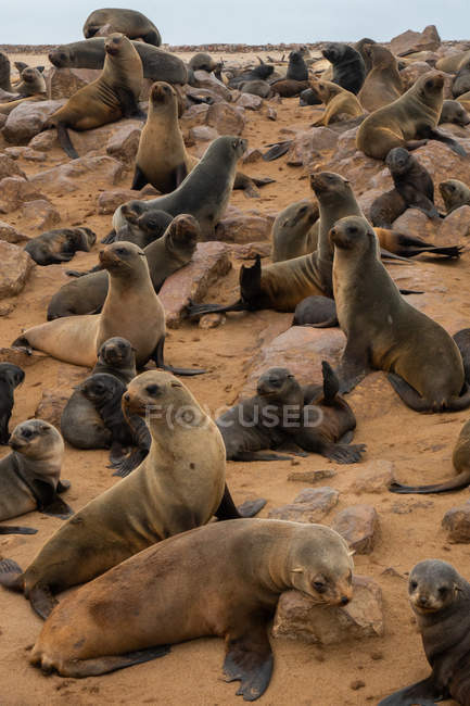 Seal colony on rocks, Cape Fur Seals, Atlantic Coast, Cape Cross, Namibia, Africa — Stock Photo