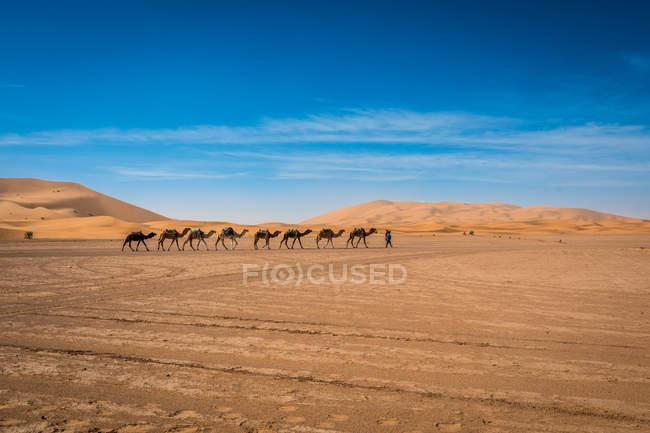 Camelos, andando em uma linha no deserto de Merzouga, Marrocos, norte da África, África — Fotografia de Stock