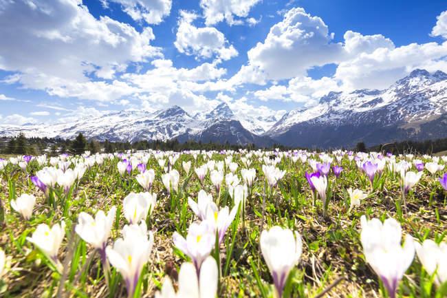 Blühende Wiese Krokusse auf Alp Flix, Sur, Surses, Parc Ela, Region Albula, Kanton Graubünden, Schweiz, Europa — Stockfoto