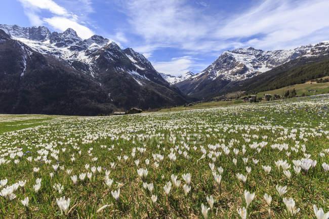 Луга крокусы цветут — стоковое фото