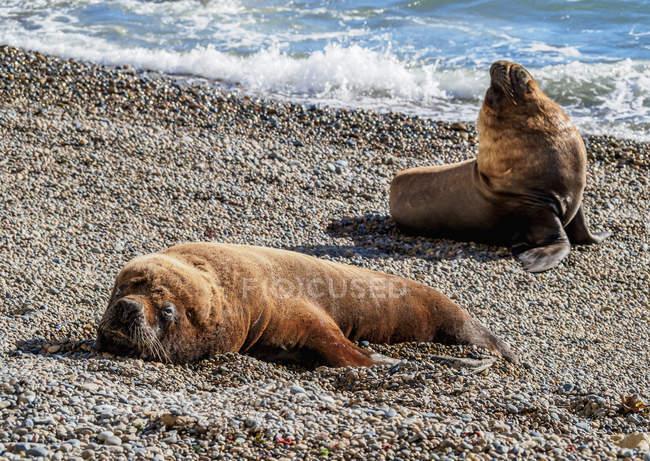 Leoni marini sudamericani che riposa sulla spiaggia, Punta Ninfas, Costa Atlantica, Provincia di Chubut, Patagonia, Argentina, Sud America — Foto stock