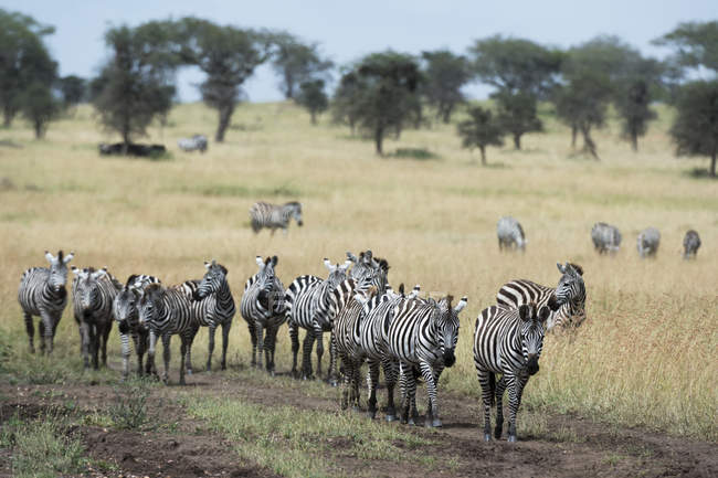 Herd of plains zebras walking in savanna, Seronera, Serengeti National Park, Tanzania, East Africa, Africa — Stock Photo