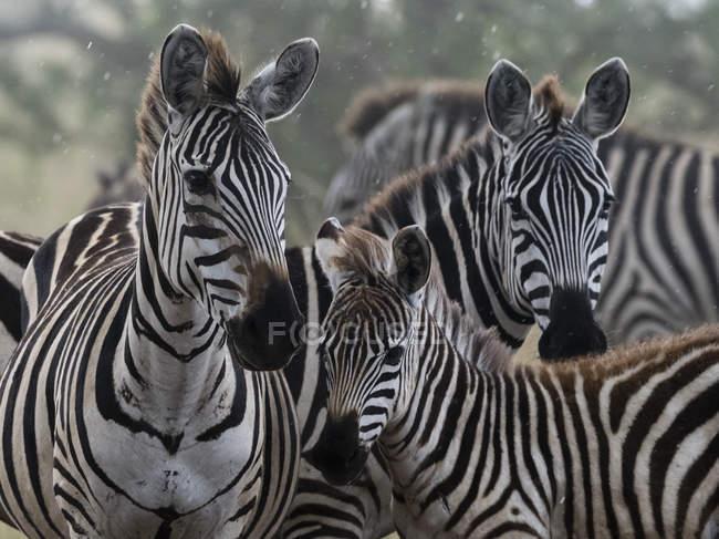 Рівнини зебр стоячи під дощем у Савана — стокове фото