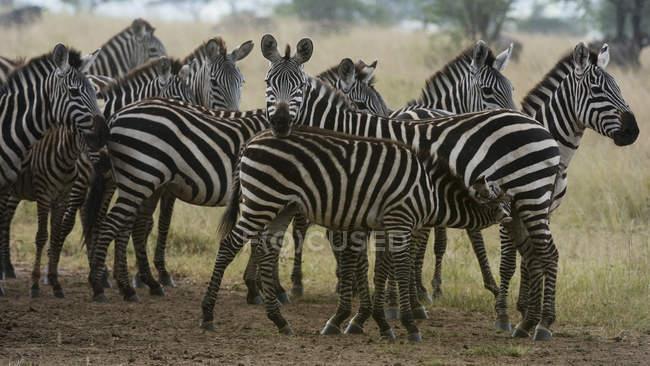 Plains zebras standing under rain in savanna — Stock Photo
