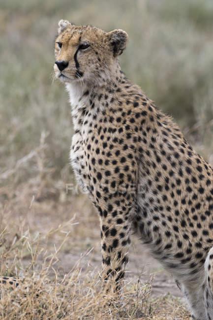 Ghepardo che si siede sull'erba in natura, Ndutu, Ngorongoro Conservation Area, Serengeti, Tanzania, Africa orientale, Africa — Foto stock