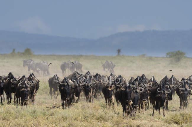 Herd of blue wildebeests in savanna, Ndutu, Ngorongoro Conservation Area, Serengeti, Tanzania, East Africa, Africa — Stock Photo
