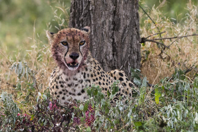 Ghepardo con muso sanguinante dopo l'allattamento, Ndutu, Ngorongoro Conservation Area, Serengeti, Tanzania, Africa orientale, Africa — Foto stock