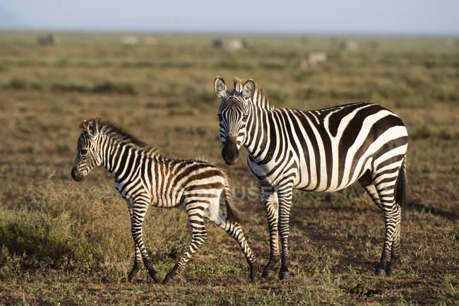 Potro de cebra de planicie y madre en Sabana, Ndutu, Ngorongoro conservación área, Serengeti, Tanzania, África Oriental, África - foto de stock