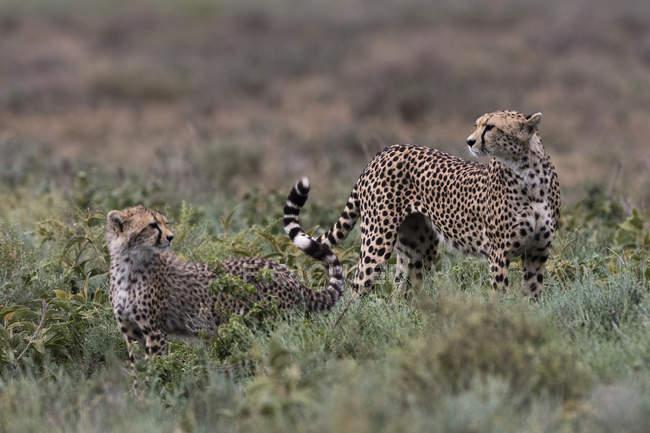 Ghepardo della femmina con cucciolo nella natura, Ndutu, Ngorongoro Conservation Area, Serengeti, Tanzania, Africa orientale, Africa — Foto stock