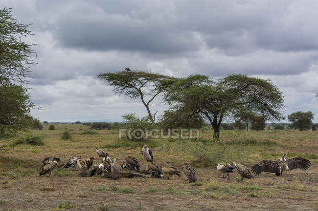 White-backed vultures and marabou storks on ground under cloudy sky, Ndutu, Serengeti, Tanzania, East Africa, Africa — Stock Photo