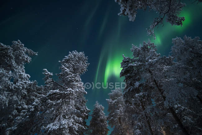 Luces del norte en bosque del invierno - foto de stock