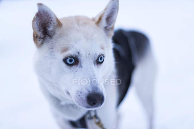 Husky debout à la ferme husky en hiver et à la recherche. — Photo de stock