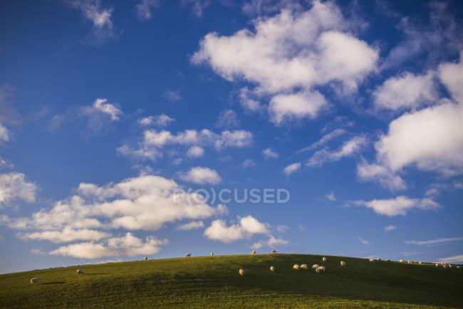 Schafe weiden auf grünen Ackerland unter bewölktem Himmel in Nord-Wales, Wales, Vereinigtes Königreich — Stockfoto