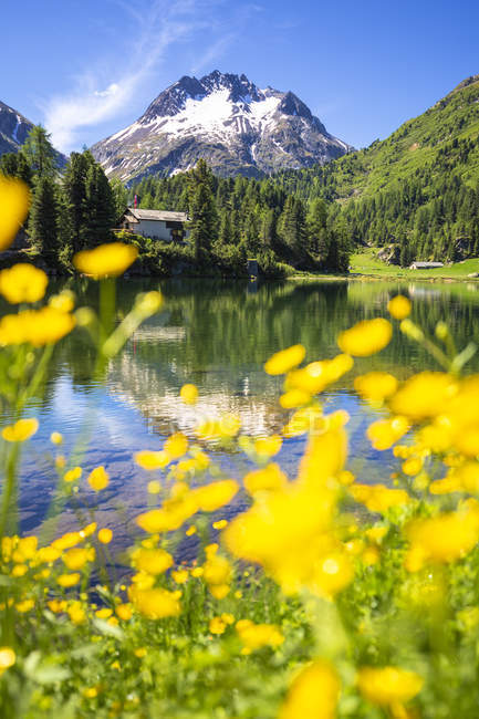 Summer flowers at Lake Cavloc in mountains, Forno Valley, Maloja Pass, Engadine, Graubunden, Switzerland — Stock Photo