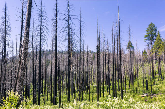 Destroyed burned trees in forest, Yosemite National Park, California, United States of America, North America — Stock Photo
