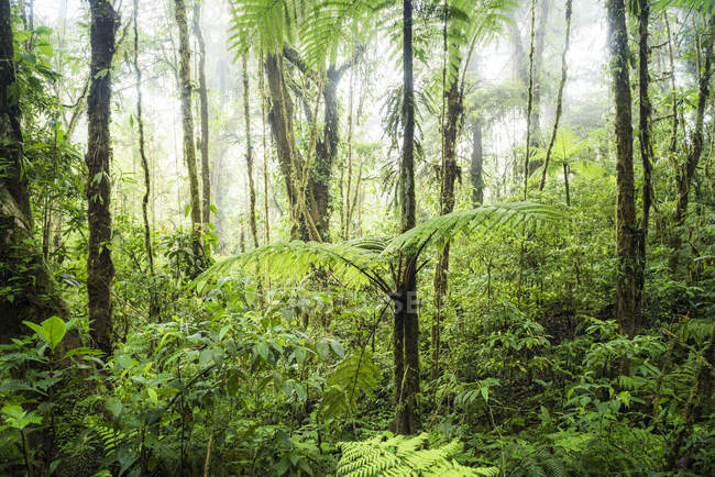Alberi e vegetazione verde in Monteverde Cloud Forest Reserve, Puntarenas, Costa Rica, America centrale — Foto stock
