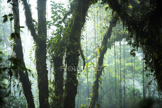Troncs d'arbres dans la brume Monteverde Cloud Forest Reserve, Puntarenas, Costa Rica, l'Amérique centrale — Photo de stock