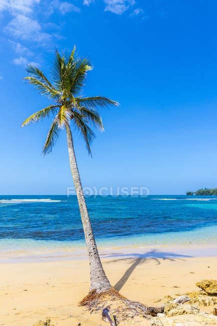 Palm tree on paradise Bocas del Drago beach, Colon Island, Bocas del Toro Islands, Panama, Central America — Stock Photo