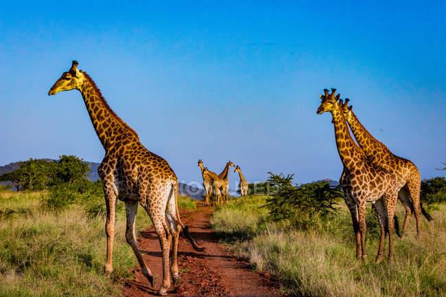 Жирафы, ходить на пути в Африке саванне, Zululand, Южная Африка, — стоковое фото