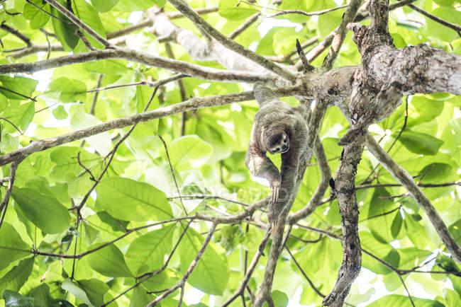 Brown Throated tre Toed Sloth arrampicata su albero, Manuel Antonio, Costa Rica, America centrale — Foto stock