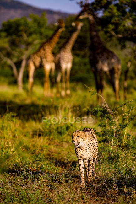 Cheetah standing in savanna with giraffes on background, Zululand, South Africa, Africa — Stock Photo