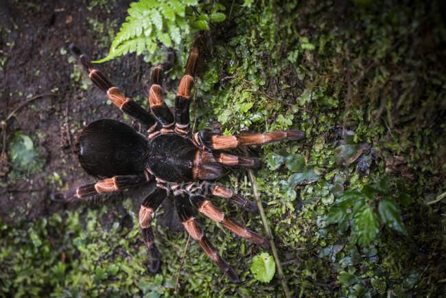 Tarantula laranja-deu uma joelhada na natureza, Monteverde Cloud Forest Reserve, Puntarenas, Costa Rica, Central América — Fotografia de Stock