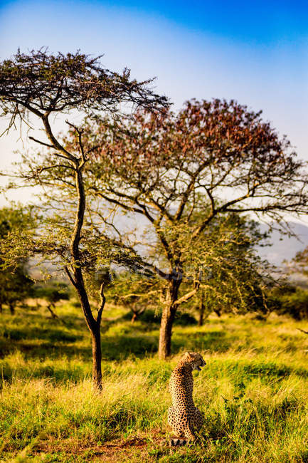 Cheetah sitting on grass in sunny nature, Zululand, South Africa, Africa — Stock Photo