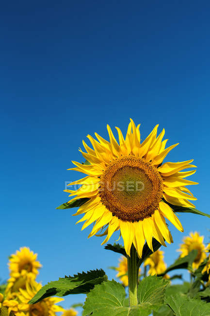 Blooming bright sunflowers against blue sky — Stock Photo
