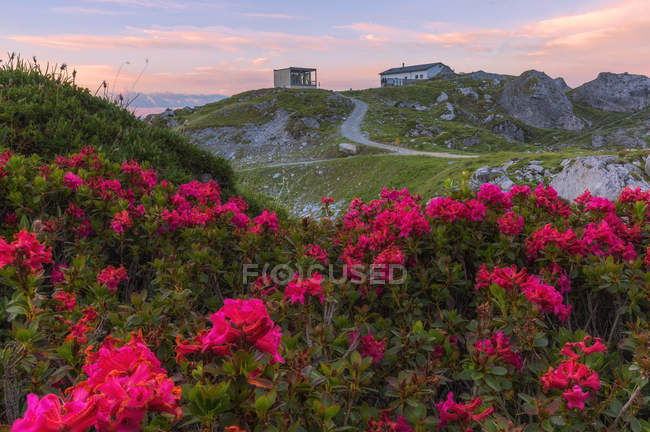 Rhododendrons blooming at Segnes Hutte at sunrise, Unterer Segnesboden, Flims, District of Imboden, Canton of Grisons, Switzerland — Stock Photo
