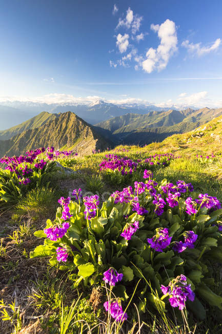 Wild flowers growing in mountains, Albaredo Valley, Orobie Alps, Lombardy, Italy — Stock Photo
