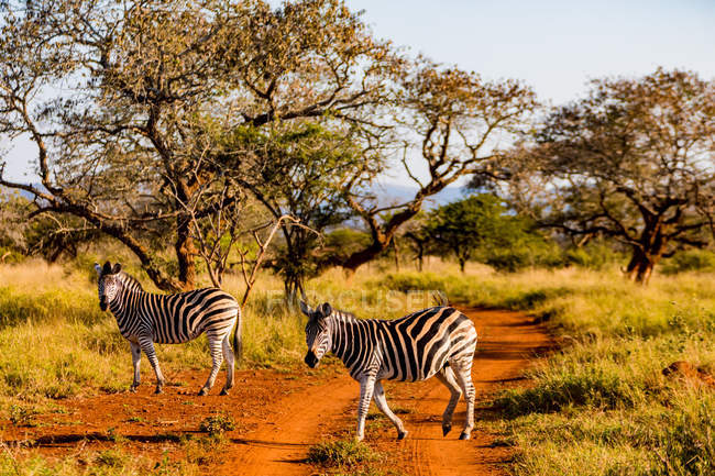 Zebras walking on path in savanna, Zululand, South Africa, Africa — Stock Photo